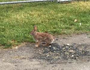 Eastport bunny Seen on Denise's run