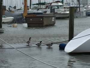 Ducks on the dock - Dog River