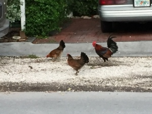 Typical Key West Rooster