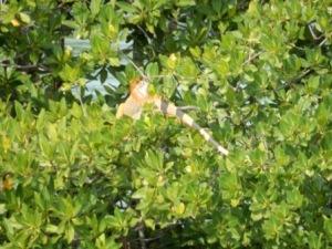 Iguana in mangrove