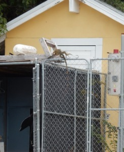 Iguan climbs fence to roof