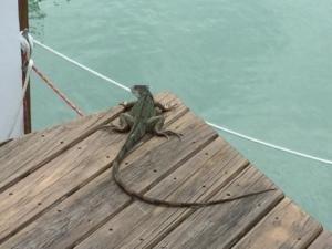 MYC neighbor iguana