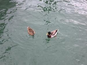 Ducks at MYC