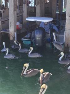 Pelican awaiting scraps - Bud N' Mary