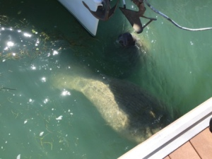 Manatee at Faro Blanco