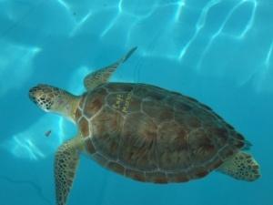 Rehab turtle
