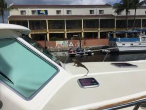Visiting Iguana
