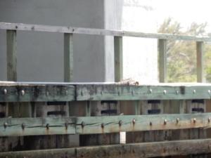 iguna on bridge fender