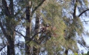 Osprey Nest on Serenity Island