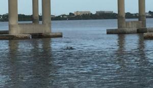 Dophins near Melbourne Bridge
