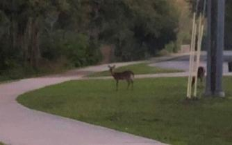 Deer spotted on morning run