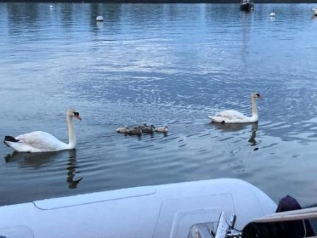 Family of swans - GKYC