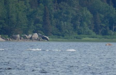 Belugas in Baie Sainte-Marguerite