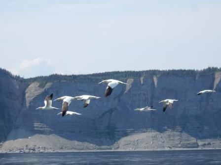 Gannets near cliffs at Cap-Bon-Ami