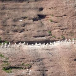 Gannets on Bonaventure Island