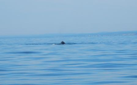 Whale on Bay of Chaleur