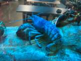 Blue lobster at aquarium